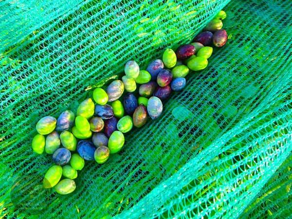 Gesundheitsvorteile Olivenöl