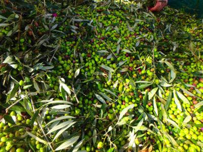 Oliven Ernte in Kreta