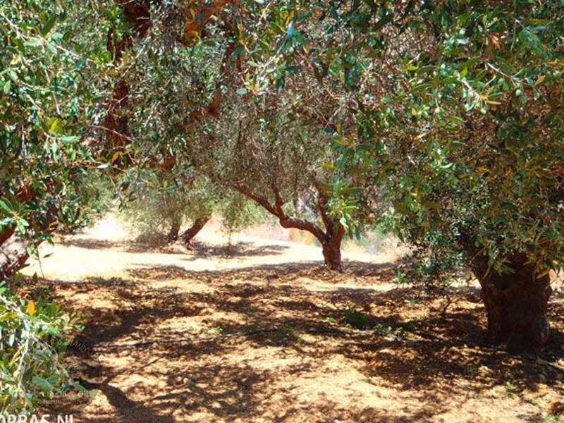 Olivenhain Ernte