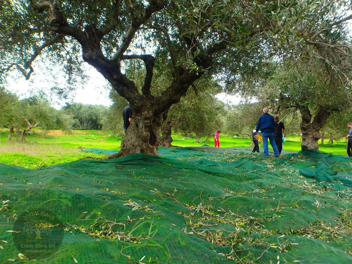 Premium Olivenöl aus Griechenland Kreta