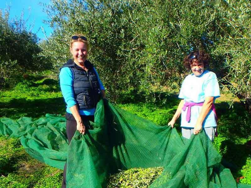 arbeiten im Olivenhain kreta