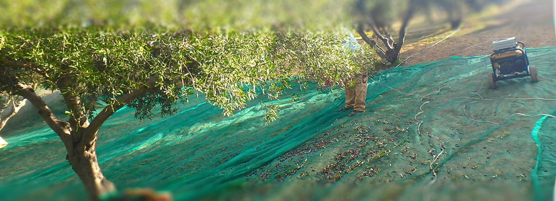 Pressen der Oliven